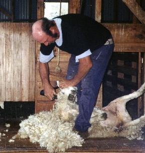 Sheep shearing NZ